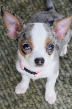 My girlfriend bought a blue merle chihuahua?
