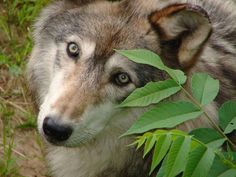 Wolves are amazing creatures - they are so persecuted by humans.
