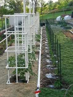 PVC tomato cage, and look at the great watering system!