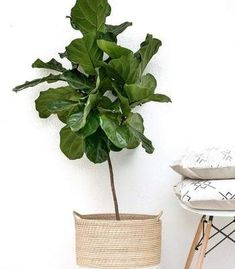 Our live, vibrant Fiddle Leaf Fig Tree is a perfect addition to any room & adds instant charm. Shop our fiddle leaf fig tree for sale today! Indoor Trees, Indoor Plants, Fig Plant Indoor, Fig Tree For Sale, Ficus Lyrata, Plantas Indoor, Grands Pots, Fiddle Leaf Fig Tree, Fig Leaf Tree