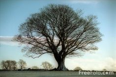 trees images free | Picture of Sycamore Tree, Northumberland - Free Pictures - FreeFoto ...