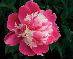 Rare Flower of Frost Dew = Gorgeous Peony With Intense Fragrance!