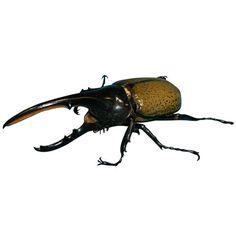 This Hercules #beetle is a popular pet in Japan.