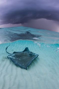 (I swam with these on my vacation there, they are soft as silk) Stormy Skies over Stingray City ~ Cayman Islands Planet Ocean, Ocean Life, Beautiful Creatures, Animals Beautiful, Snorkeling, Life Under The Sea, Underwater Life, Underwater Animals, Underwater Creatures