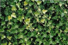 Baltic Ivy' is considered the hardiest English Ivy. It has leaves that are somewhat smaller than the species and more deeply cut as well as being lightly white-veined and tinged with purple in the winter months. 48 plants $34.99