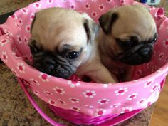 Awwww...cute! #pug #puppies