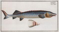 Acipenser Huso, The great Sturgeon. (1785-1797)