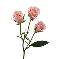 Spray Roses - Light Pink - 100 Stems