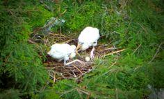 Wood stork feeding chicks in their nest