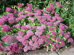 Sedum spectabile '(Brilliant Group) Brilliant': Flowers from August to November. Good for bees, 0.45m high x 0.45m wide. Full sun or part shade.