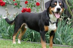 The Entlebucher Mountain Dog (pronounced Ent'-lee-boo-ker) is the smallest, but in no way least significant, member of the family of four Swiss mountain dogs or Sennenhunds.
