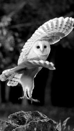 ideas for white bird photography snowy owl – Bird Supplies Beautiful Owl, Animals Beautiful, Cute Animals, Owl Photos, Owl Pictures, Owl Bird, Pet Birds, Nicolas Vanier, Black And White Birds