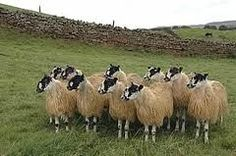 north of england mule sheep - Google Search