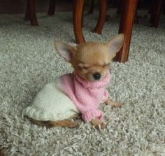 A baby chihuahua wearing a pink and white, knit sweater.CUTE!