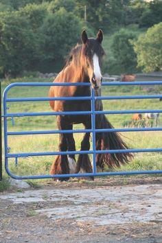 Waiting at the gate. Show Jumping, Cob, Gate, Irish, Waiting, Horses, Animals, Irish People, Animaux