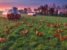 Picture of chickens in a farm pasture in Pennsylvania. NatGeo photo of the day. Something about this just makes me relax. Who wouldn't take an hour of sitting there watching some chickens?