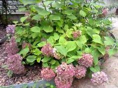Pruning a Hydrangea (ENDLESS SUMMER) - http://www.worldbuzzmedia.com/2014/11/14/pruning-a-hydrangea-endless-summer/