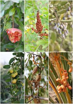 Plants on the Israel Trail. From top left: wild pomegranate, sumak tree, olives. From bottom left: jujube fruit, mature almonds and fresh dates