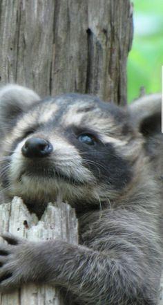 Raccoon in June Nature Animals, Woodland Animals, Animals And Pets, Baby Animals, Baby Racoon, Pet Raccoon, Cute Wild Animals, Animals Beautiful, Cute Animal Pictures