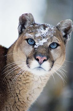 Cougar With Snow on Forehead