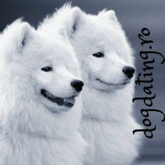 #samoyed