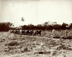 Dr James Johnston - Ploughing The Cane Field at Orange Valley Estate, St Ann, Jamaica