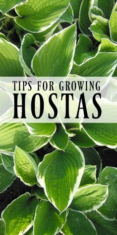 If your gardening goal is to have as little maintenance as possible, you would be wise to plant hostas, sometimes referred to as a plantain lily. Here are a few facts that, if you need a little convincing,...