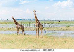 Imagem gratis no Pixabay - Girafas, África, Natureza, Paisagem