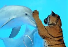 Just Some Dolphins Meeting A Tiger And Penguin
