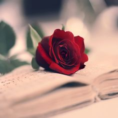 Lovely images of floral arrangements to inspire you. Enthusiasm for ones new flowery skin icon to pretty flowery skills for ones phone. Love Rose Flower, Beautiful Rose Flowers, Romantic Roses, Flower Phone Wallpaper, Flower Wallpaper, Rose Day Wallpaper, Image Fleur Rose, Rose Day Pic, Wallpaper Tumblrs