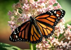 monarch butterfly nectaring on milkweed blossoms