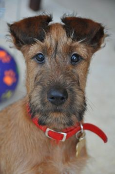 Portret of an Irish Terrier Dog Photos, Dog Pictures, I Love Dogs, Cute Dogs, Wire Fox Terrier, Fox Terriers, Bull Terrier, Scottish Deerhound, Most Beautiful Dogs