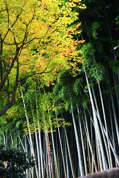 Momji in Kitasaga Bamboo Grove Arashiyama, Kyoto, Japan. Photo by Krista Bo Bista from Flickr.com