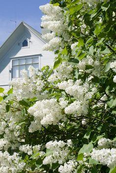 Syreeni, Syringa http://www.viherpiha.fi/pensaat-ja-puut/syreeni