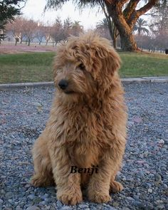Goldendoodle once we get moved! Gizmo needs a sibling :)