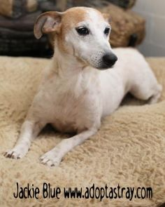 5 / 3    ***SENIOR*** Petango.com – Meet Jackie Blue, a 10 years 1 month Terrier, Jack Russell / Mix available for adoption in NEWPORT, KY Address  P.O. Box 72040, NEWPORT, KY, 41072  Phone  (859) 391-1234  Website  http://www.Adoptastray.com  Email  saap@adoptastray.com