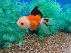Lot# 9947 Tri-color Oranda with cute red pompons