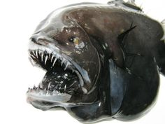 """From deep-sea """"aliens"""" to promising seafood specimens, 38 striking fish species have been spotted off Greenland for the first time. Deep Sea Creatures, Weird Creatures, Weird Fish, Angler Fish, Sea Fishing, Baby Puppies, Fauna, Ocean Life, Marine Life"""