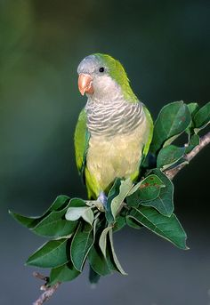 Monk Parakeet/Quaker Parrot (Myiopsitta monachus), Argentina & nearby countries; feral populations in N. Am, W. Eur., Israel & Singapore.