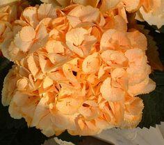 peach hydrangias