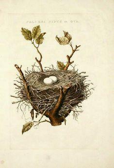 Vintage print of nest with bird eggs