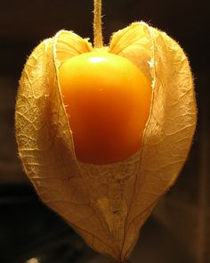Cape Gooseberry - why don't you live in Texas? You are beautiful & delicious.