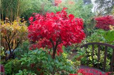Acer Palmatum Osakazuki gives the reddest colour of all the Acers.