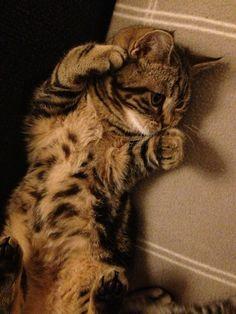 British shorthair, kitten, cat, Brits korthaar, Golden tabby blotched
