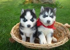 Siberian husky puppies #SiberianHusky