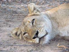 Lioness, Sabi Sands, Kruger National Park, South Africa