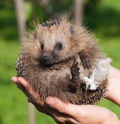 Injured Hedgehog, poor little guy.
