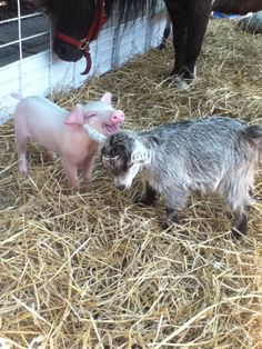 Farm friends...Awe, it looks like this baby pig is laughing.