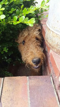 From the Airedales! public group on Facebook...