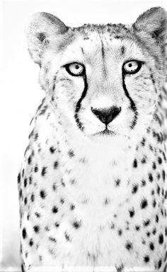 Cheetah Art Photograph - Black and White Photography - Nature Wall Decor - Monochrome Fine Art - Animal Photography Wildlife Photography, Animal Photography, Fine Art Photography, Artistic Photography, Classy Photography, Photography Portraits, Photography Projects, Black White, Monochrom